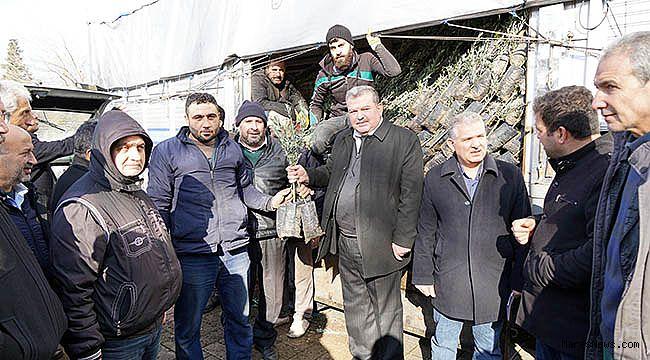 Büyükşehir'den çiftçilere zeytin fidanı