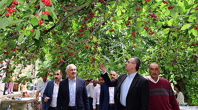 Başkan Güngör Kiraz hasadına katıldı