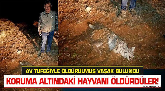 Kahramanmaraş'ta av tüfeğiyle öldürülmüş vaşak bulundu