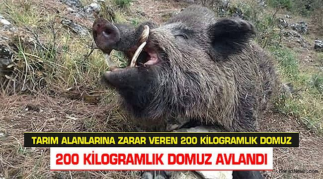 Tarım alanlarına zarar veren yaklaşık 200 kilogramlık domuz avlandı