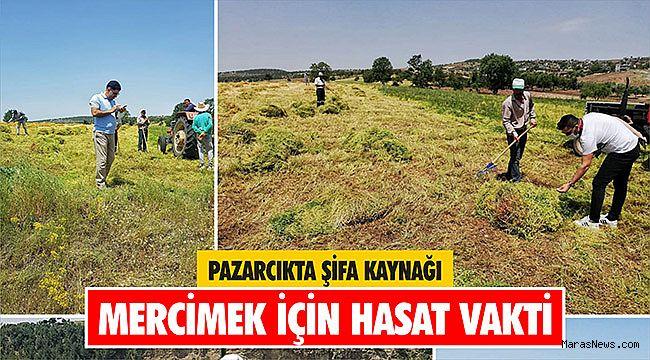 Pazarcık'ta şifa kaynağı Mercimek için hasat vakti