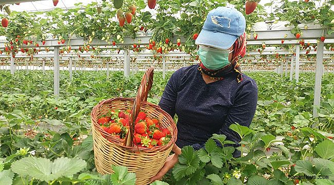 Kahramanmaraş'ta topraksız tarımda ihracat başladı